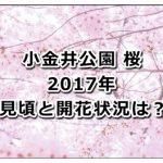 小金井公園の桜の2017年の見頃と開花状況は?ライトアップの時間も紹介