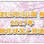淀川河川公園の桜の2017年の開花状況と見頃は?周辺の駐車場も紹介