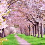 淀川河川公園の桜の2018年の開花状況と見頃は?周辺の駐車場も紹介